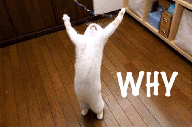 A white cat is standing straight on the wooden floor, yelling with two hands open.